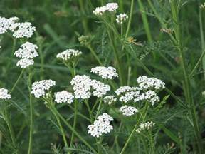 yarrow picture 5