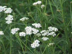 yarrow care picture 14