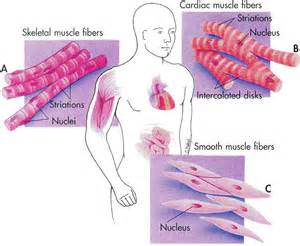 human muscle tissue picture 6
