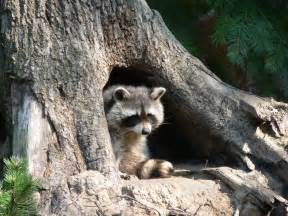 does a racoon sleep in a tree picture 17