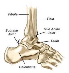 ankle joint picture 14