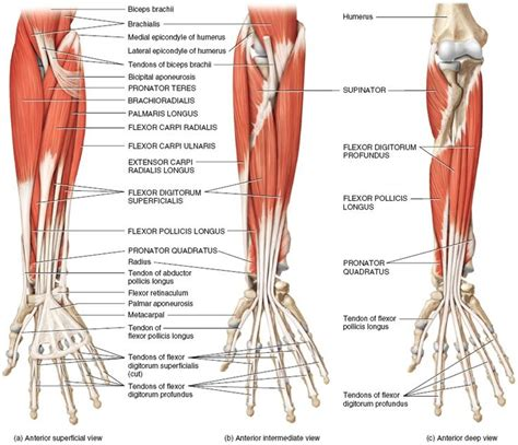 forearm muscle anatomy picture 6