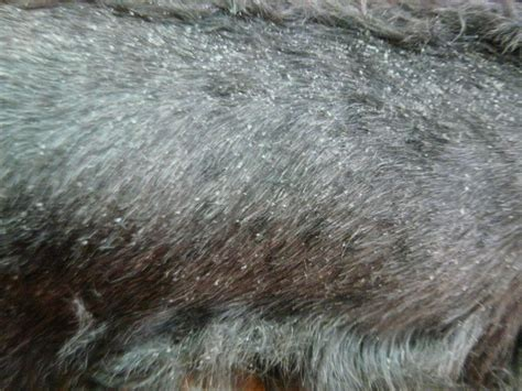 dog dry skin picture 2