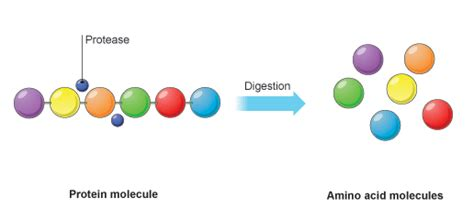 amino acids enzymes for blood flow picture 14