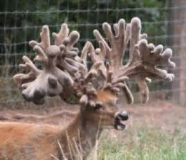 world's largest deer antlers picture 8