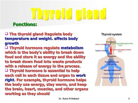 what is the purpose of the thyroid gland picture 15
