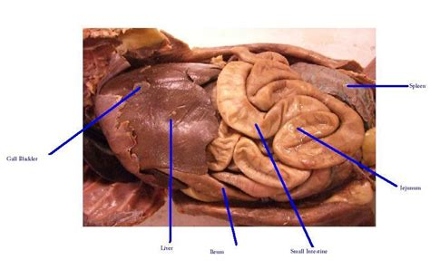 feline liver enzymes picture 7