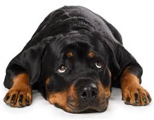 aging rotweiler picture 9