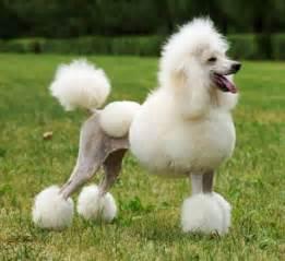 poodle hair problem picture 13