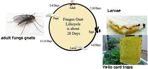 fungus gnat picture 5