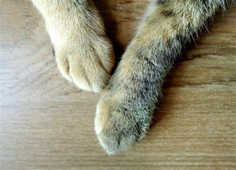 dog swollen paws swollen legs picture 1