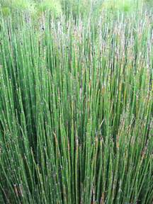 search : wikipedia for horsetail herb picture 9