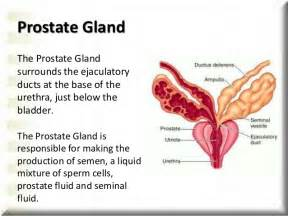 Functions of the prostate gland picture 2