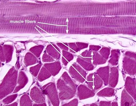are smooth muscle multinucleated picture 2