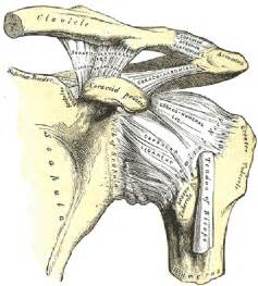 ac joint muscles picture 5