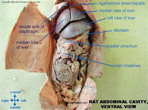 compare and contrast rat and mouse gastrointestinal system picture 9