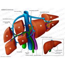 liver segmental anatomy radiology istant picture 6