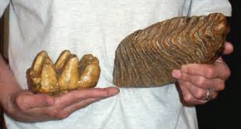 mammoth teeth picture 7