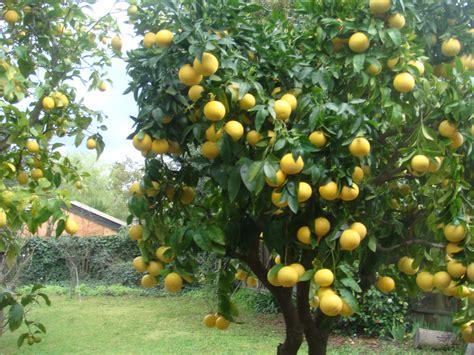 lemon tree hair picture 3