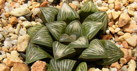 is south african hoodia gordonii picture 11