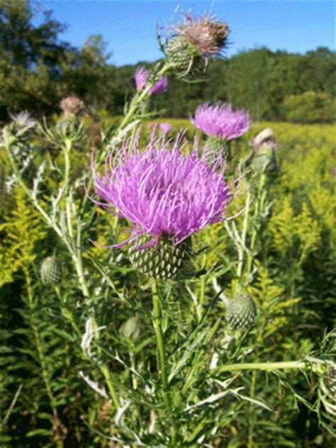 smoke blessed thistle picture 6