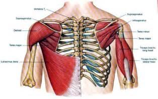 latissimus dorsi muscle picture 9