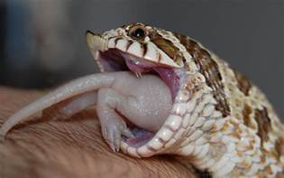 corn snakes teeth picture 10