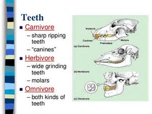 digestion teeth picture 18