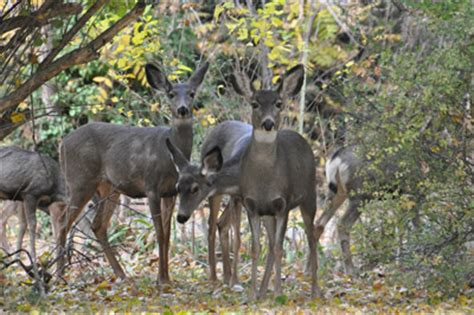 cedros island mule deer facts and pictures picture 11