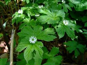 goldenseal picture 3