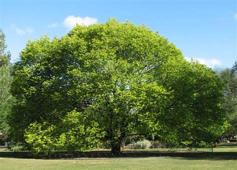 slippery elm tree picture 7