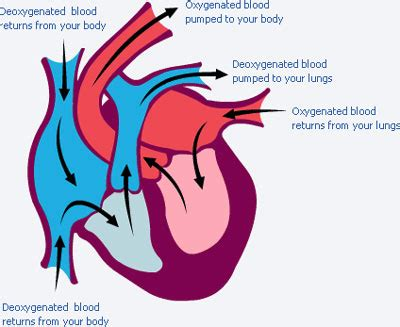increase oxygenated blood flow to heart to grow picture 14