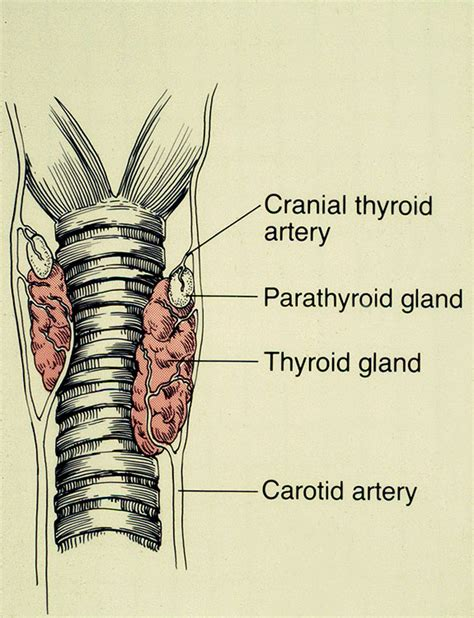 animal thyroid picture 13