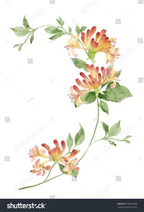 scientific name for a dandelion picture 5