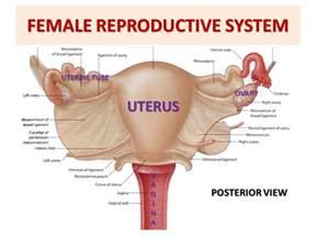 anterior bladder peritoneum picture 6