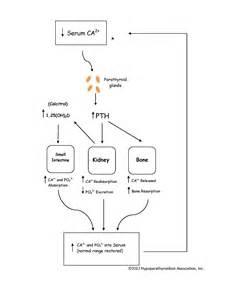 para thyroid hormone picture 10