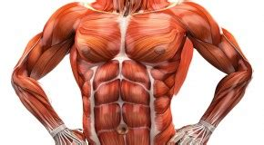 diagram of body muscle picture 19