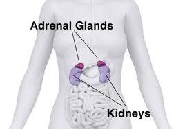 high testosterone adrenal gland picture 7