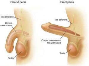 dysfunction of erection penis picture 1