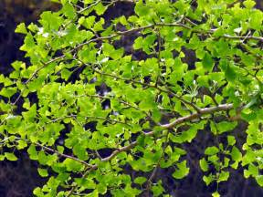 ginkgo picture 10