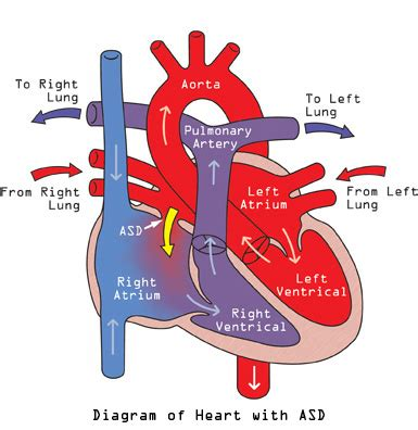 diagram of blood flow picture 18
