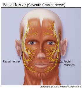 what nerves are affected by herpes picture 15