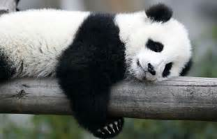 how much do giant pandas sleep picture 7
