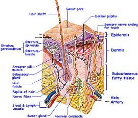 dermal layer of skin picture 10