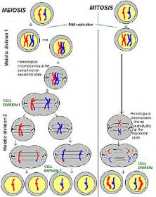 cell skin reproduction picture 15