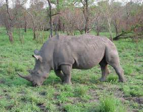 african rhino diet picture 14
