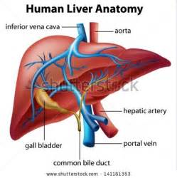 view of human liver picture 9