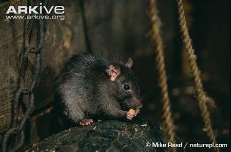 black rats diet picture 10