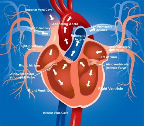 animation of the heart blood flow picture 11