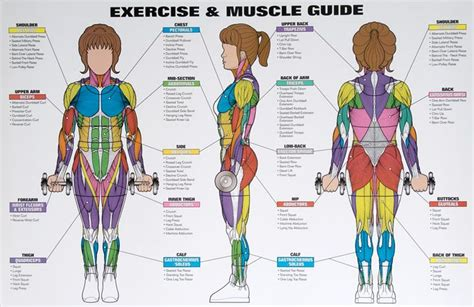 muscle groups picture 5
